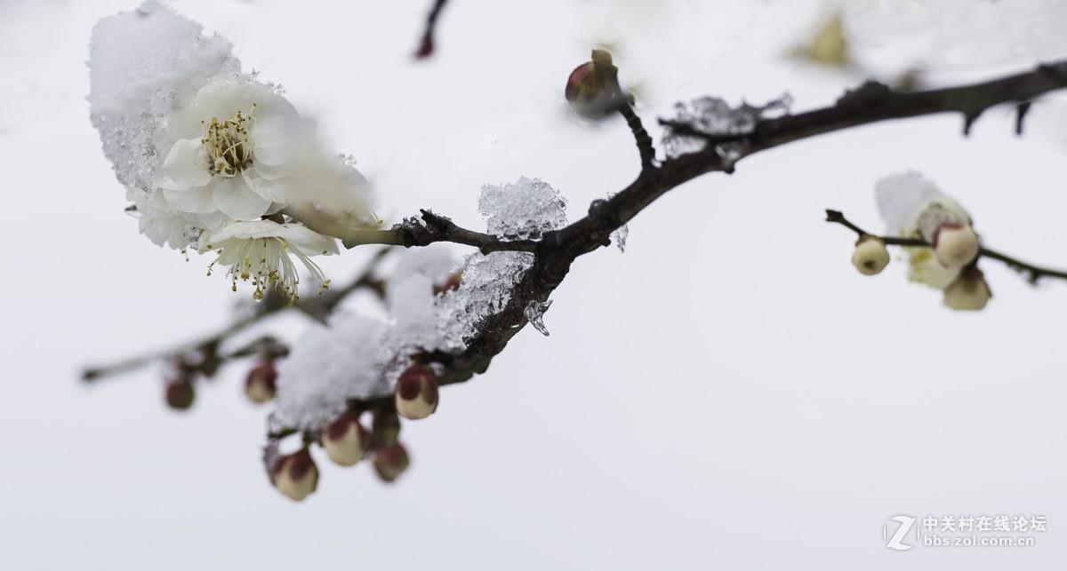 雪后的梅花
