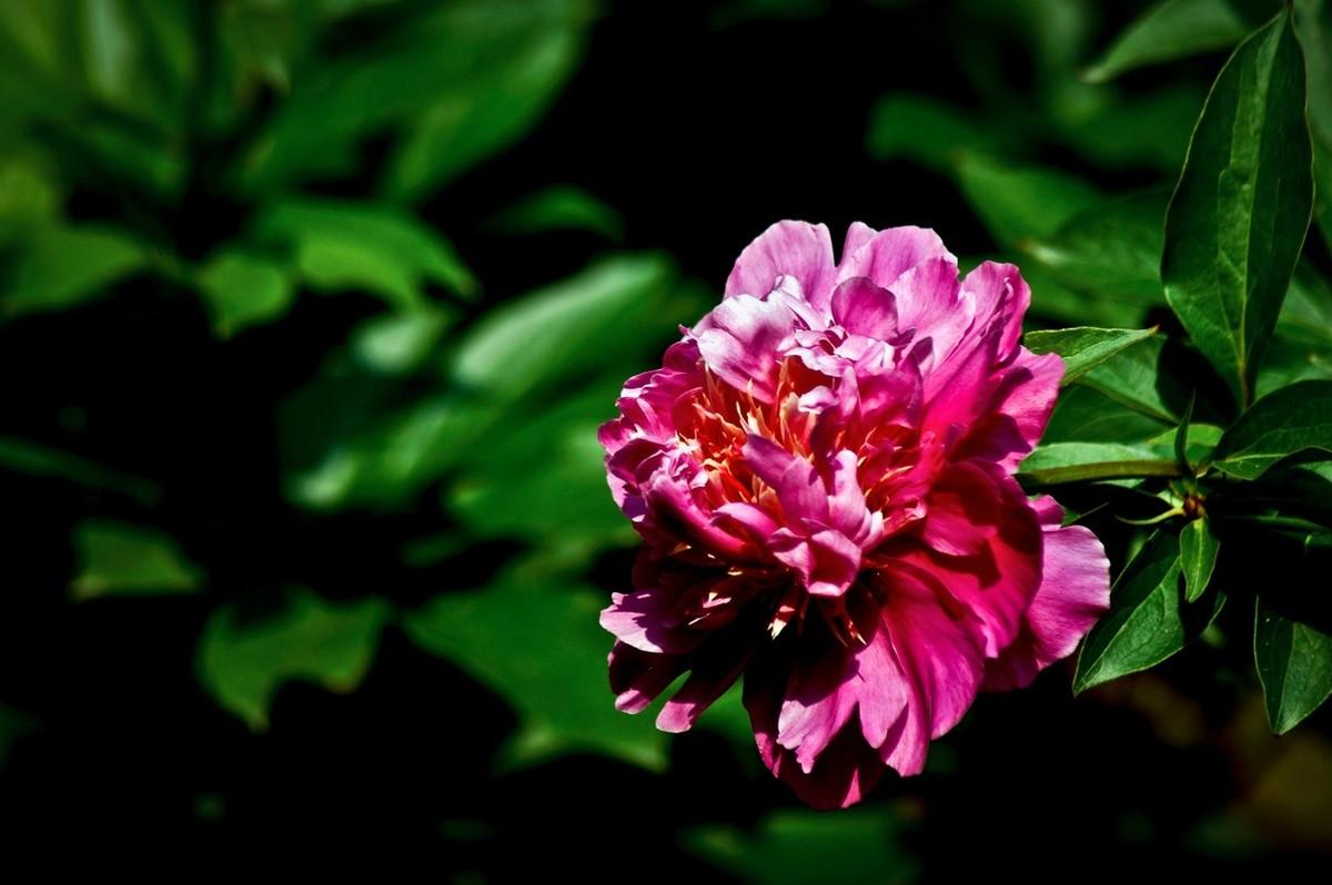 春花一组——芍药