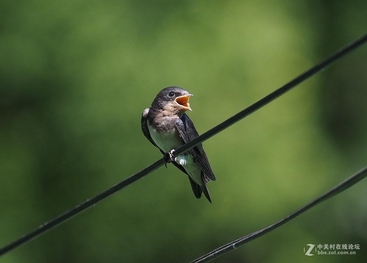 柳荫公园——家燕喂雏