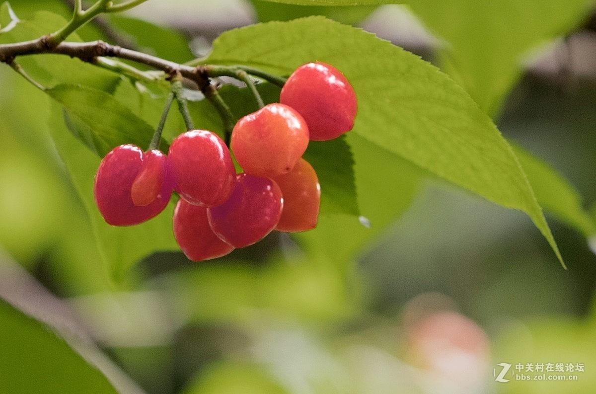 红如玛瑙的樱桃。。。