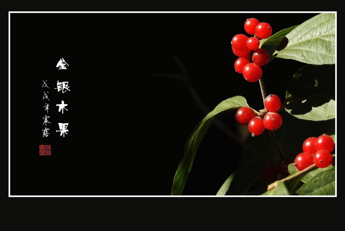 红玛瑙般的金银木果