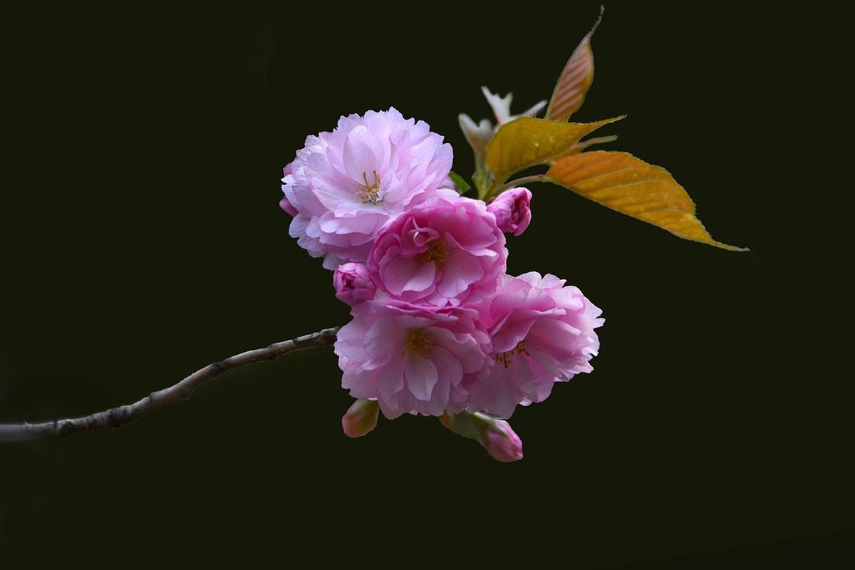 【2021】141---樱花