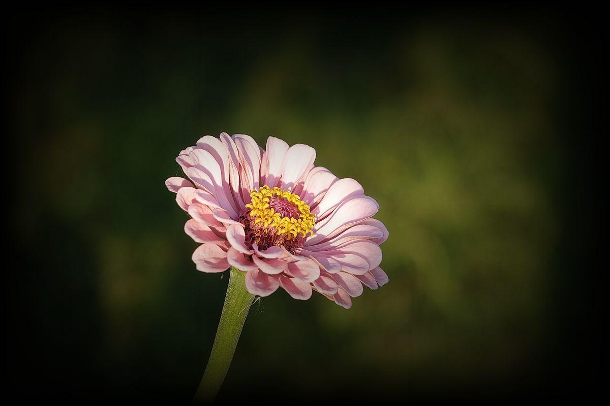 美丽的百日草花
