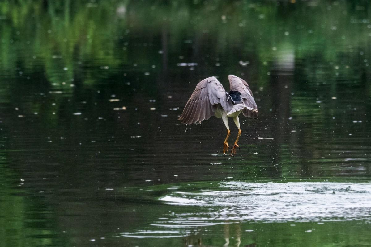 明湖的夜鹭(九)