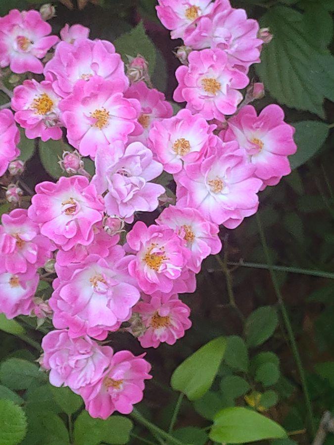 花卉系列【2724】