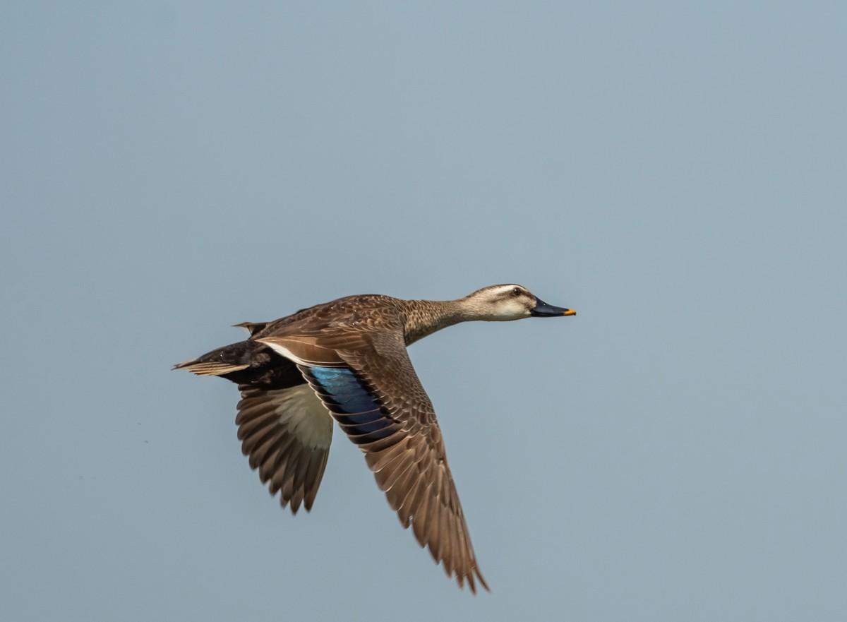抓拍飞起来的《斑嘴鸭》
