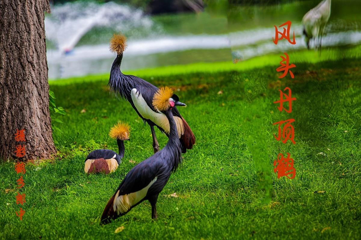 风头丹顶鹤