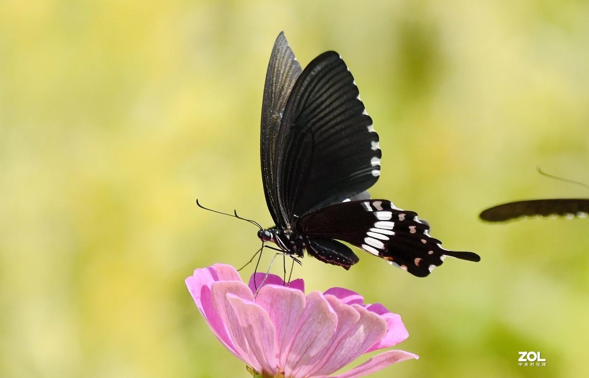 玉带凤蝶。