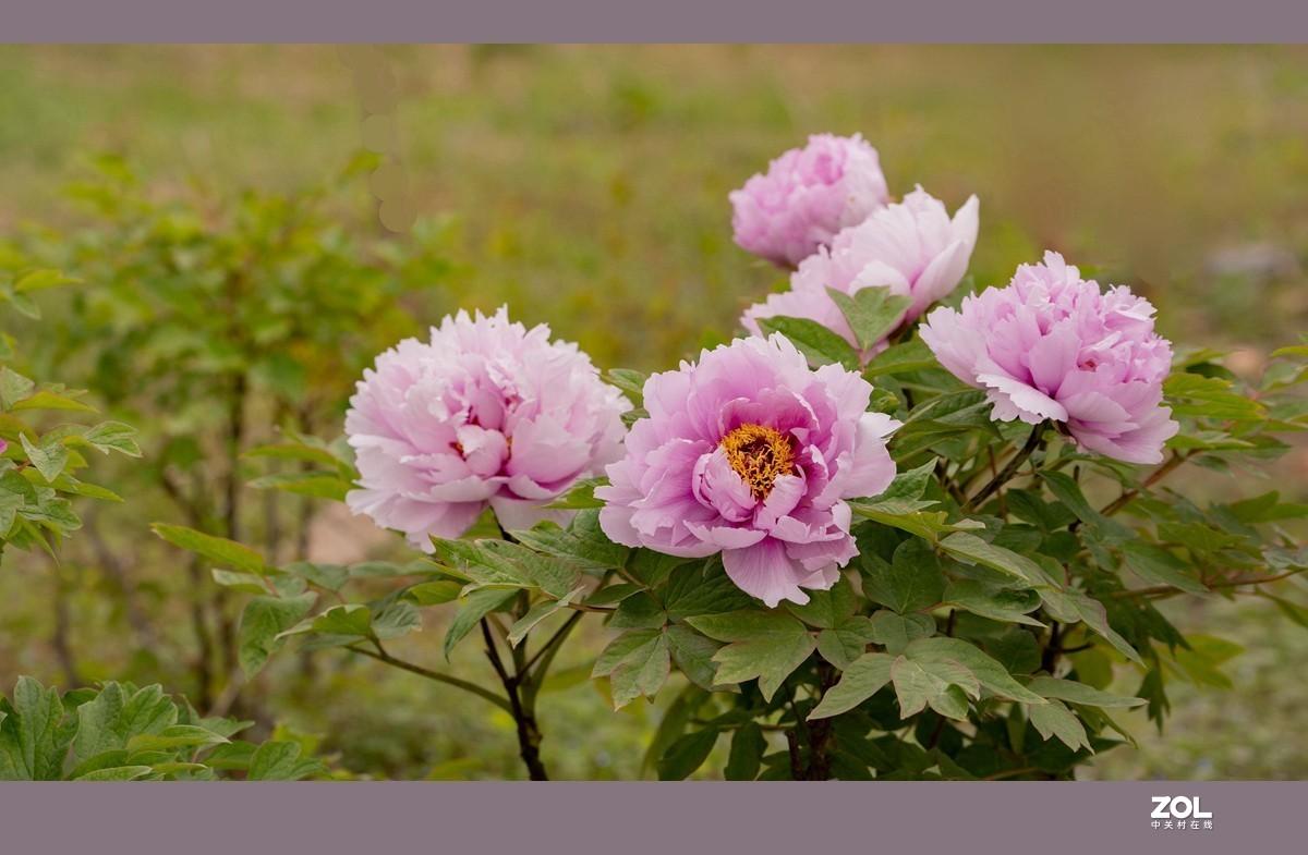 牡丹--百花丛中最鲜艳C