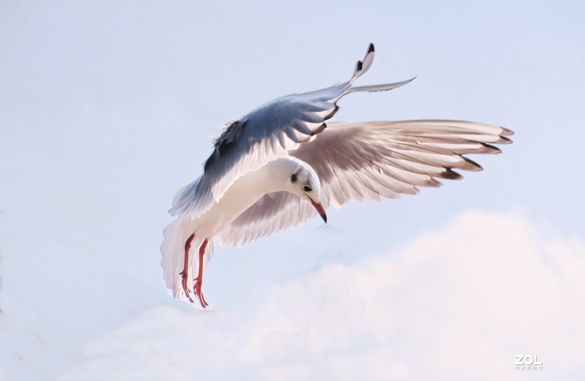 抓拍红嘴鸥—8