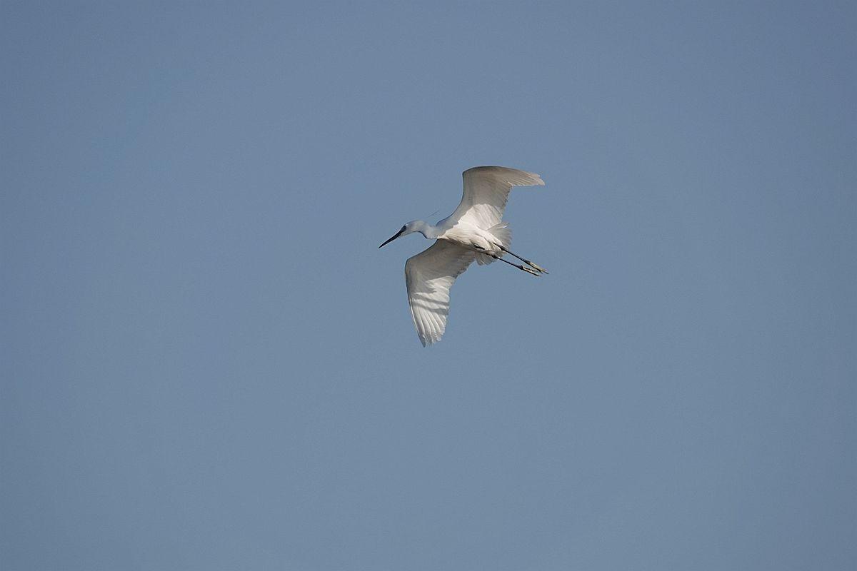 一组飞翔的白鹭——恭祝好友和老师们中秋快乐!