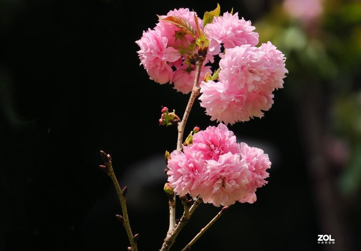 重瓣樱花—6