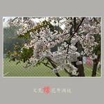 又见樱花开满枝  (尼康D800配24-70mm镜头)