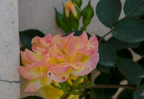月季花,蔷薇花。
