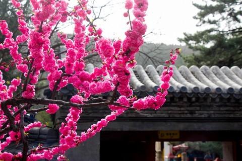 #正是一年最美时# 春游潭柘寺之五(完)潭柘寺的花