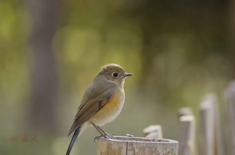 红胁蓝尾鸲(雌鸟)