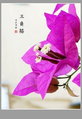 厦门市花---三角梅(手机)