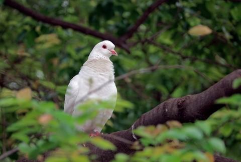 鸽子 【3】