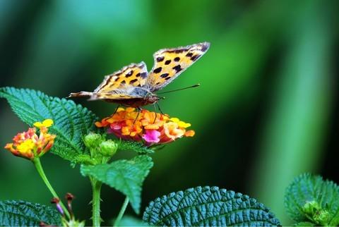 七彩梅上的虎斑蝶