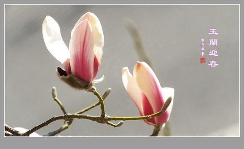 玉兰迎春---告假帖