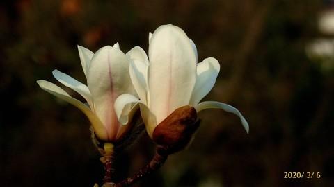 【一组玉兰花】祝大家端午节幸福安康