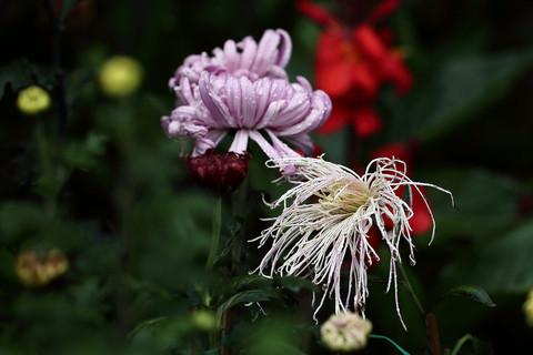 雨后的秋菊