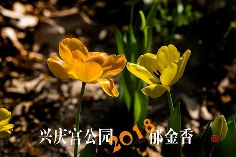 2018西安兴庆宫公园郁金香