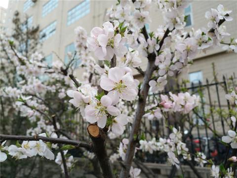 #ZOL月赛-春暖花开# 好花不常在