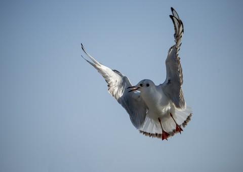 寒风中起舞的海鸥