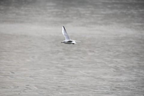 海鸥翱翔(1)