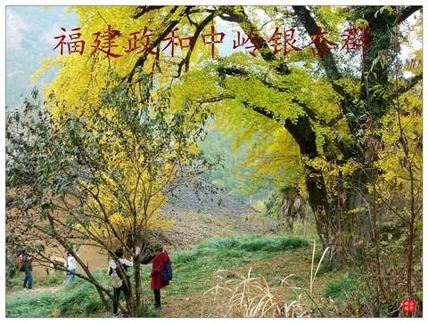 家乡的风景------福建南平政和铁山中岭银杏群风景(上)