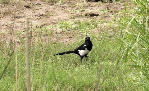 湿地公园里的喜鹊(提前给各位师友拜年)