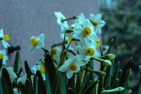 水仙.绿叶,白花,黄芯.