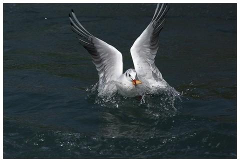 红嘴鸥--远方的来客(六)