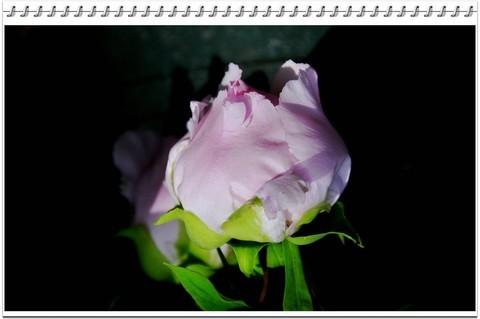 昆明美丽的牡丹花