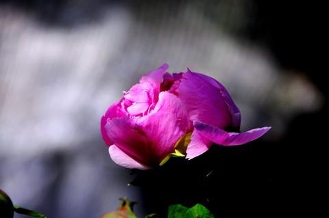 昆明漂亮的牡丹花