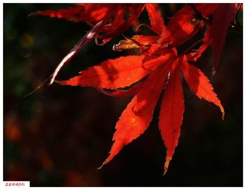 拜年贴: 红叶与黄叶 ------(1)