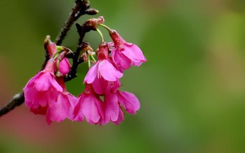 21067---植物园的樱花