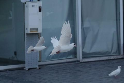 舞动的鸽子和其他