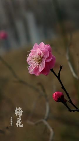 梅花迎春【2】