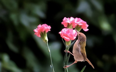 21070---公园随拍的鹪莺(4)