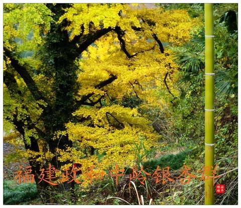 家乡的风景------福建南平政和铁山中岭银杏群风景(下)