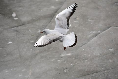 海鸥翱翔(5)
