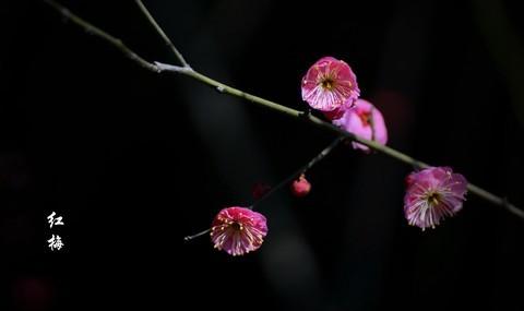 红梅花儿开朵朵放光彩