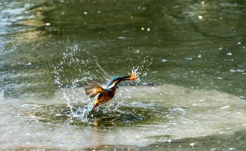 翠乌窜冰下抓魚