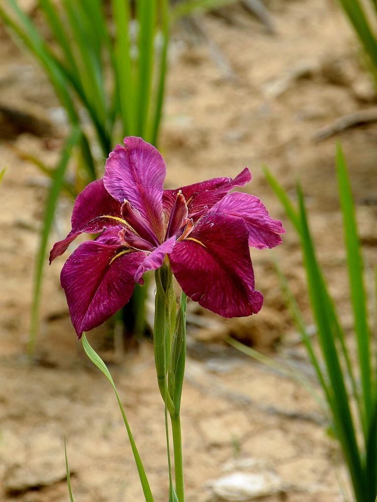 紫鸢尾-5